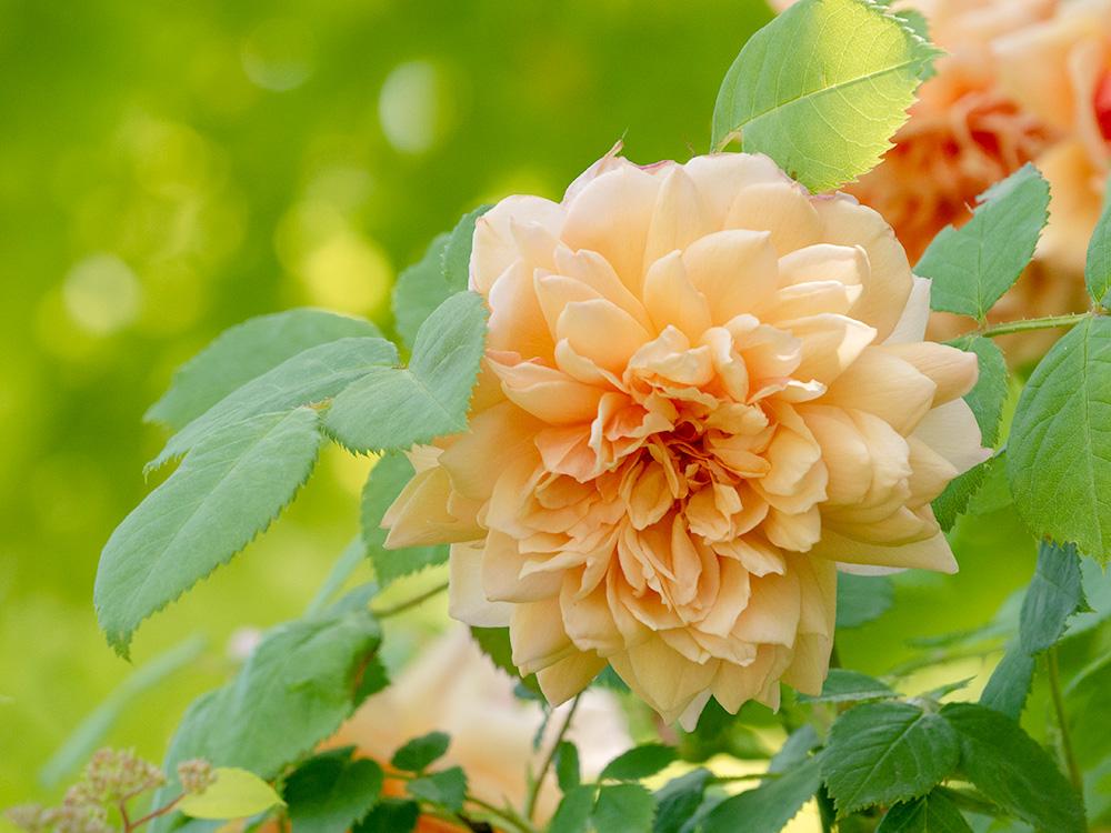 花フェスタ記念公園 フレンドシップガーデンのバラ