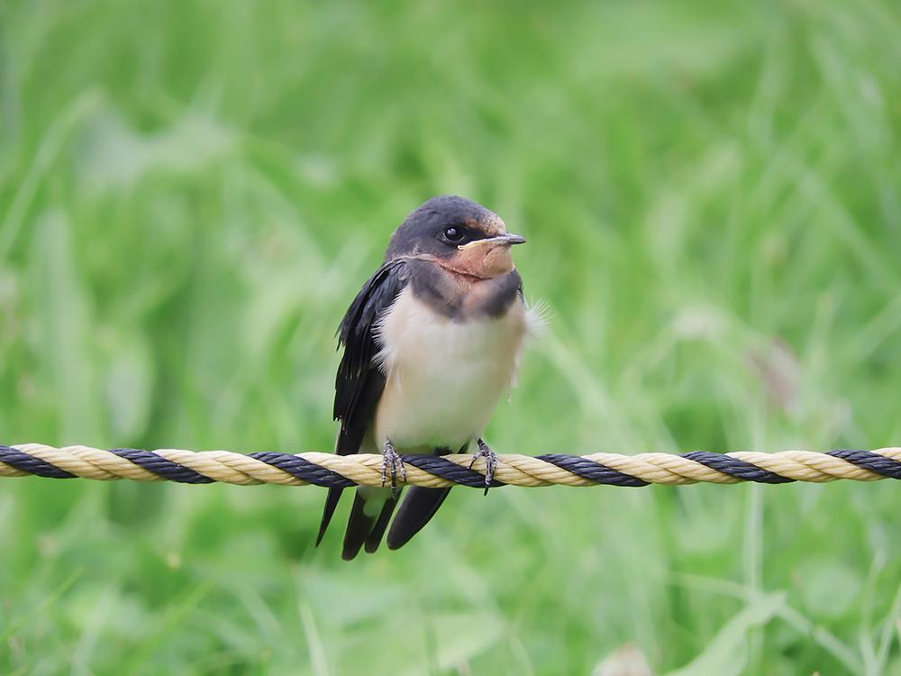 ツバメの幼鳥は尾羽が短い