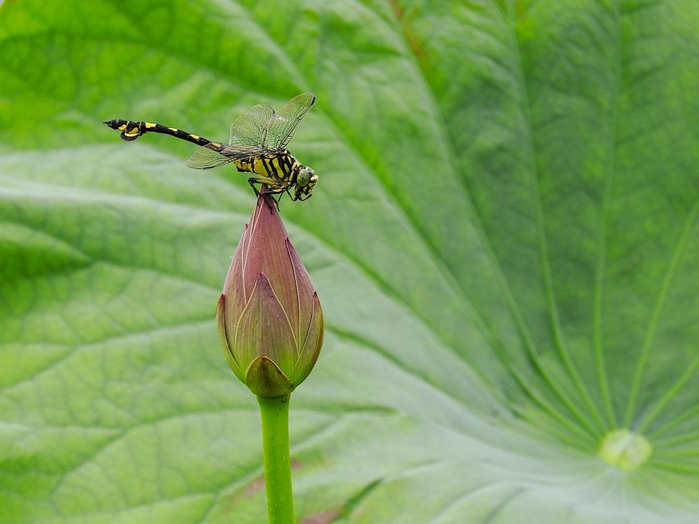 蓮のつぼみにとまるウチワヤンマ