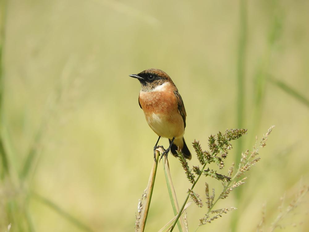 かわいい小鳥「ノビタキ」について知ってみよう
