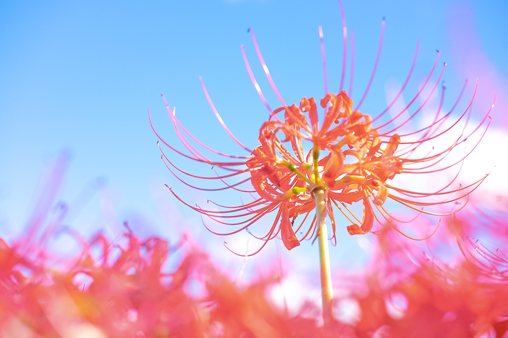 秋 ヒガンバナの写真