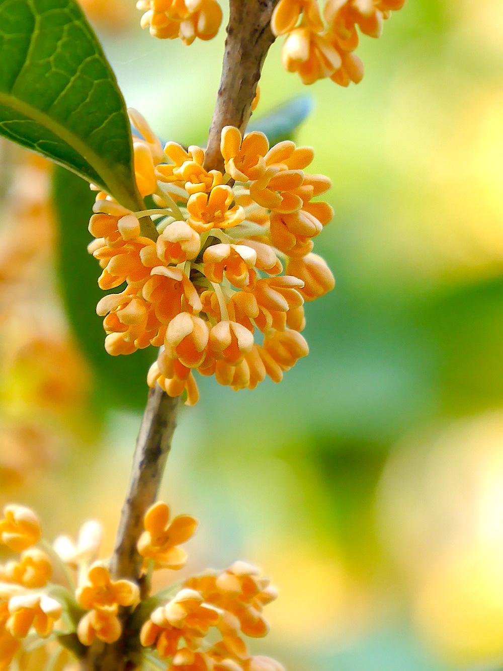キンモクセイ(金木犀)の花