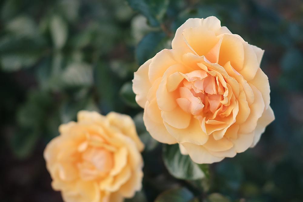 フィルムシミュレーション「クラシッククローム」で撮影したバラ