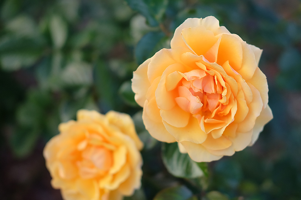 フィルムシミュレーション「プロビア」で撮影したバラ