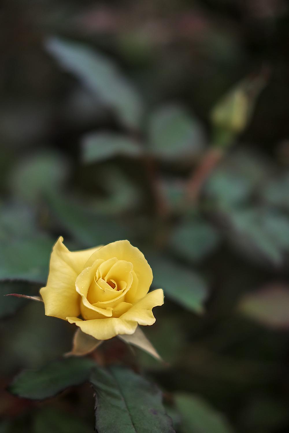 黄色いバラ クラシッククロームで撮影
