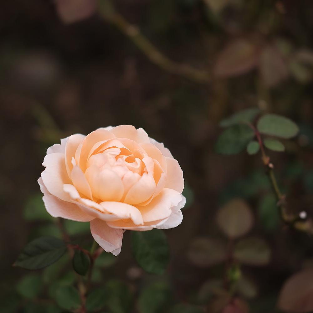 アイボリーのバラ クラシッククロームで撮影