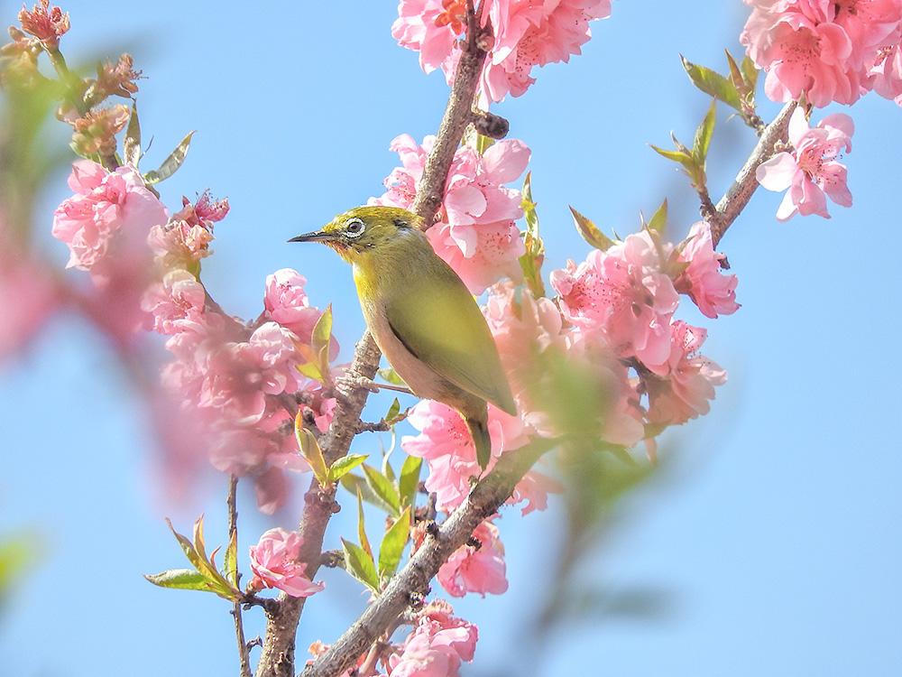 花桃にとまるメジロ