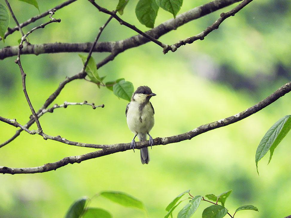 シジュウカラの幼鳥 ネクタイが短い