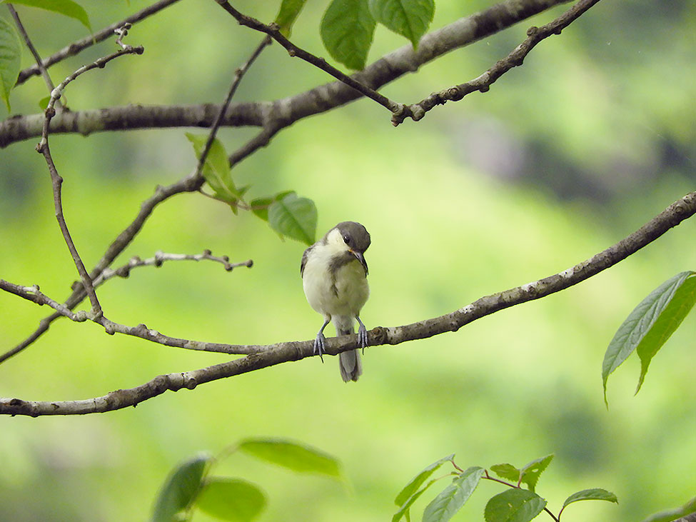 シジュウカラの幼鳥 羽根はグレーに近い色をしている