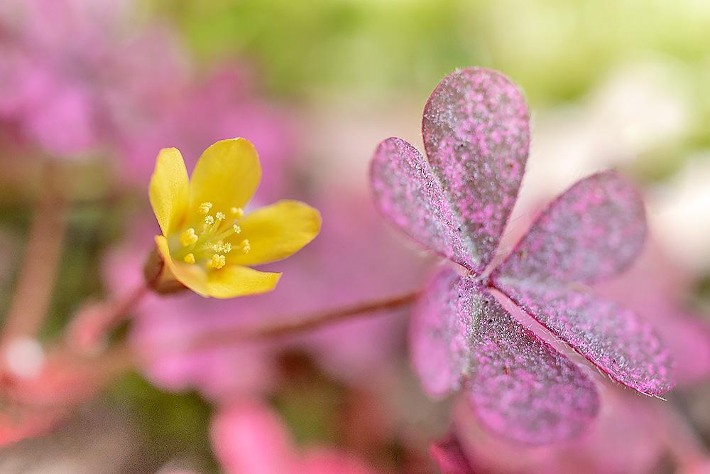 アカカタバミ 赤紫の葉