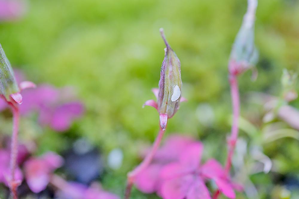 アカカタバミの実と種 マクロレンズで撮影